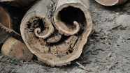 Hollow Log Face