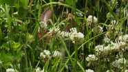 Hiding in the Clover