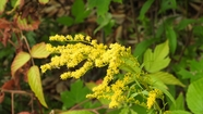 The Beginning of Goldenrod Season