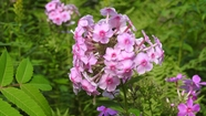 A Great Year for Phlox